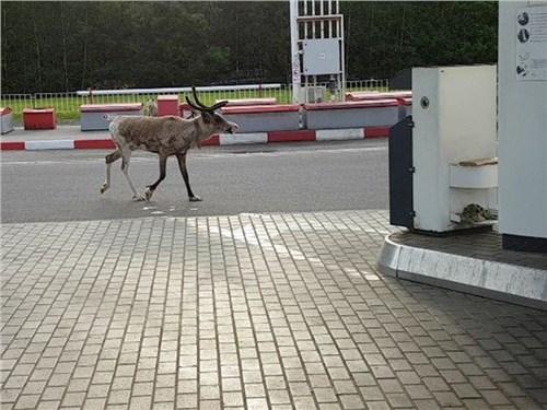 Продай оленя и купи бензин
