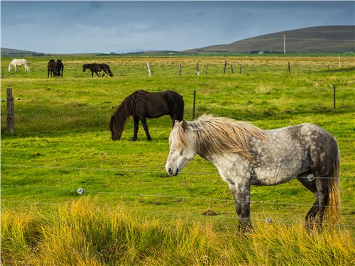 Исландская порода лошадей отличается небольшим ростом, коренастым сложением и косматой челкой