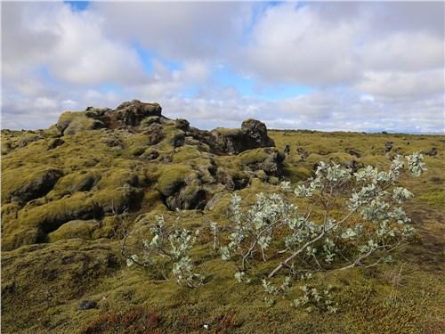 Исландский мох занимается самозахватом окрестностей