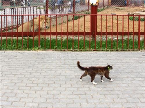 Кошек в этом зоопарке хватает, причем самых разных