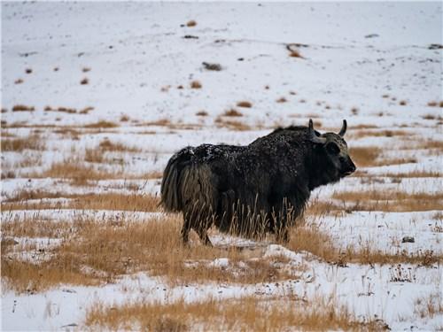 Як, или тибетский бык, на высокогорье используется в качестве вьючного животного, а также источника мяса и молока