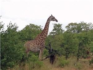 Жирафы нам встречались чаще всего