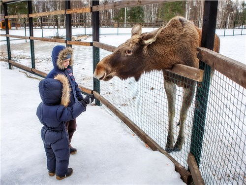 Возможность покормить лосей с рук восхищает взрослых, а уж детей и вовсе приводит в неописуемый восторг