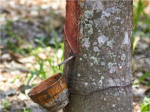Сок гевеи как источник натурального каучука собирают при помощи простых приспособлений