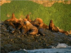 Морские львы – существа мирные, но нервные