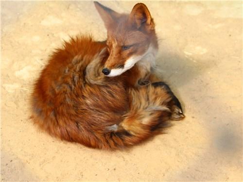 В любом зоопарке лисы неизменно привлекают к себе внимание посетителей, не исключение и Экзотик Парк