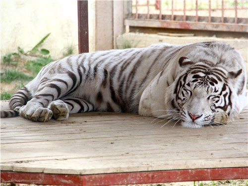 Бенгальский тигр оказался не готовым променять сон на общение с гостями
