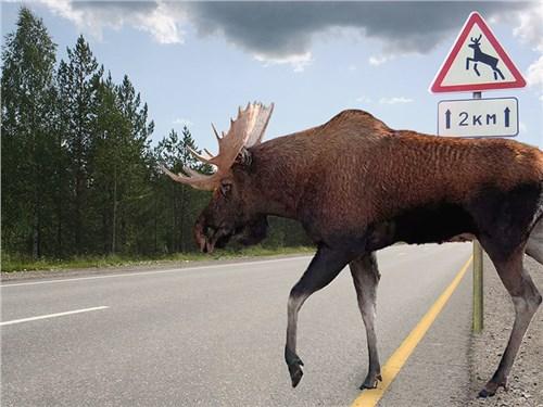 Водителей предупреждают об опасности лосей-лизунов