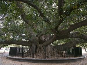 Диаметр ствола этого фигового дерева достигает восьми метров