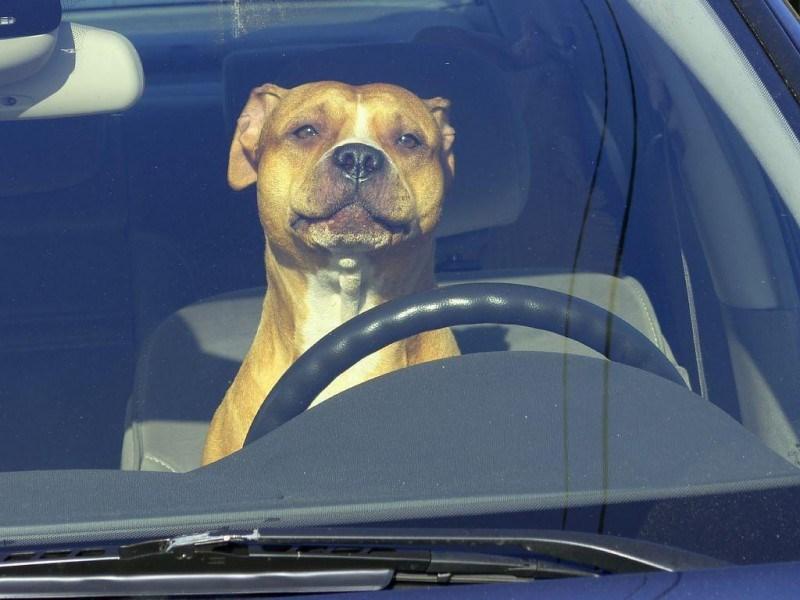 Называют ли собак в честь автомобилей?