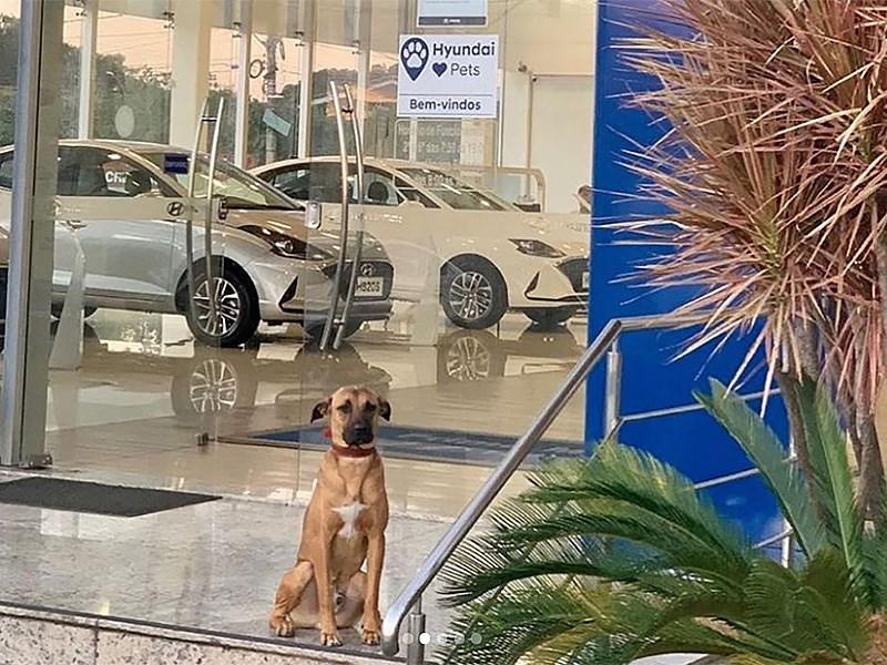 Бродячую собаку взяли на работу автосалон Hyundai